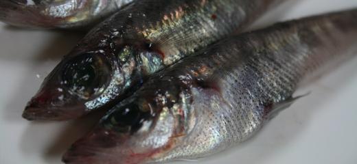 プロ・スパー 鮮魚 愛知のおさかな図鑑